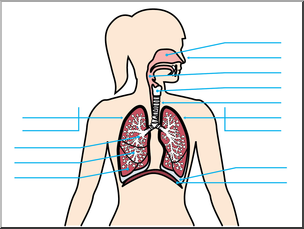 304x229 Clip Art Human Anatomy Respiratory System Color Unlabeled I