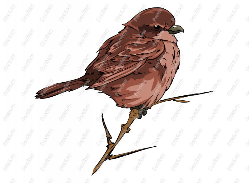 800x589 Realistic Northern Shrike Bird Character Clip Art