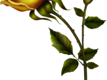 220x165 Yellow Roses Clip Art Yellow Rose With Bud Png Clipart Kedvenceim