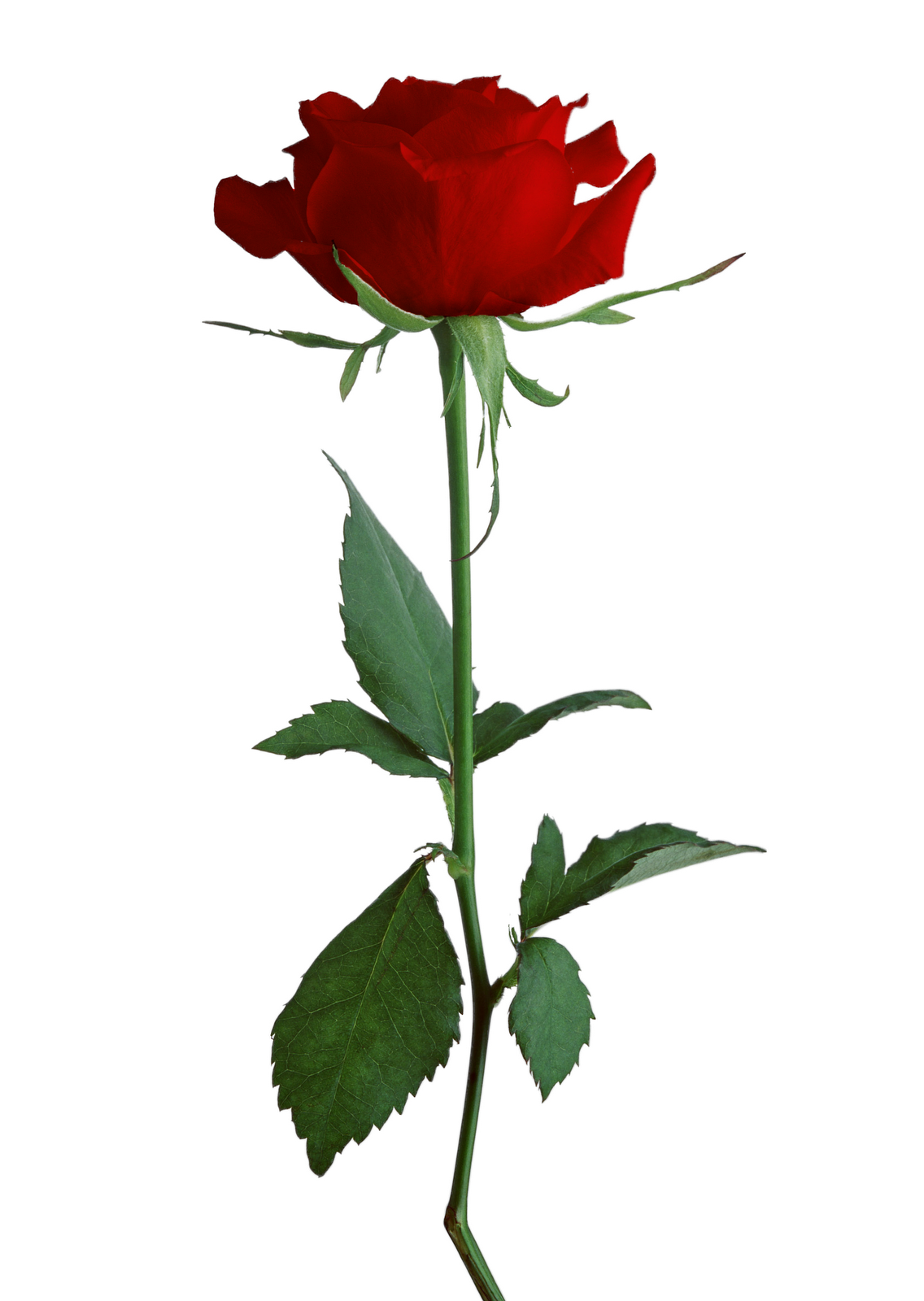 1136x1600 Rose Clipart Different Kind Plant
