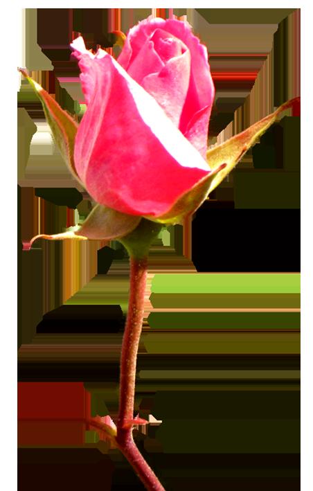 452x709 Rose Bud Pink Clip Art