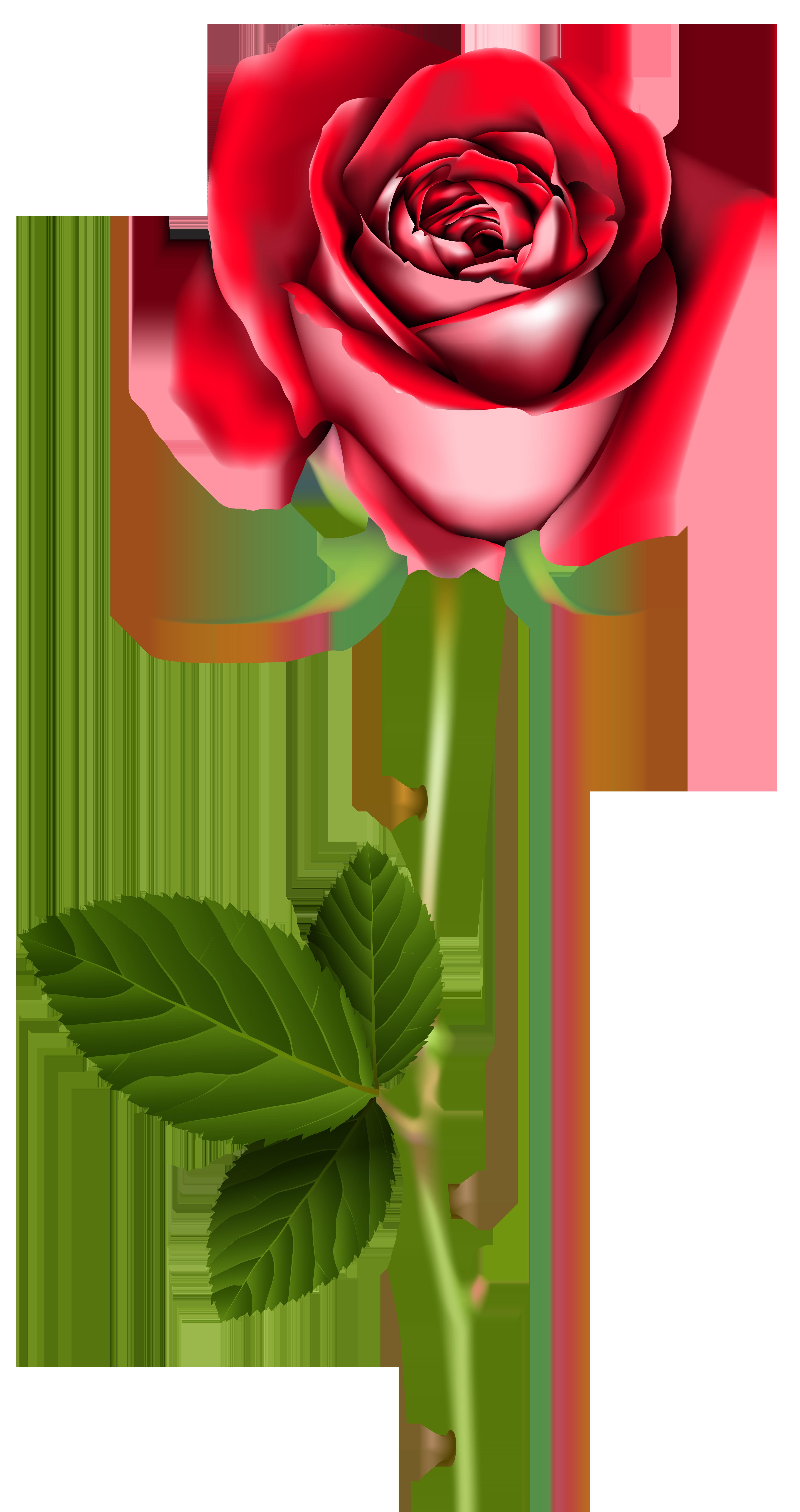4284x8100 Rose Png Clip Art