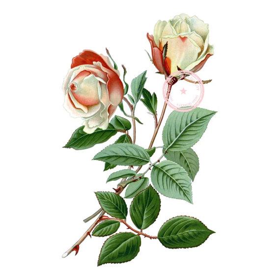 570x570 Safrano Tea Rose Clip Art Vintage Floral Clipart Botanical