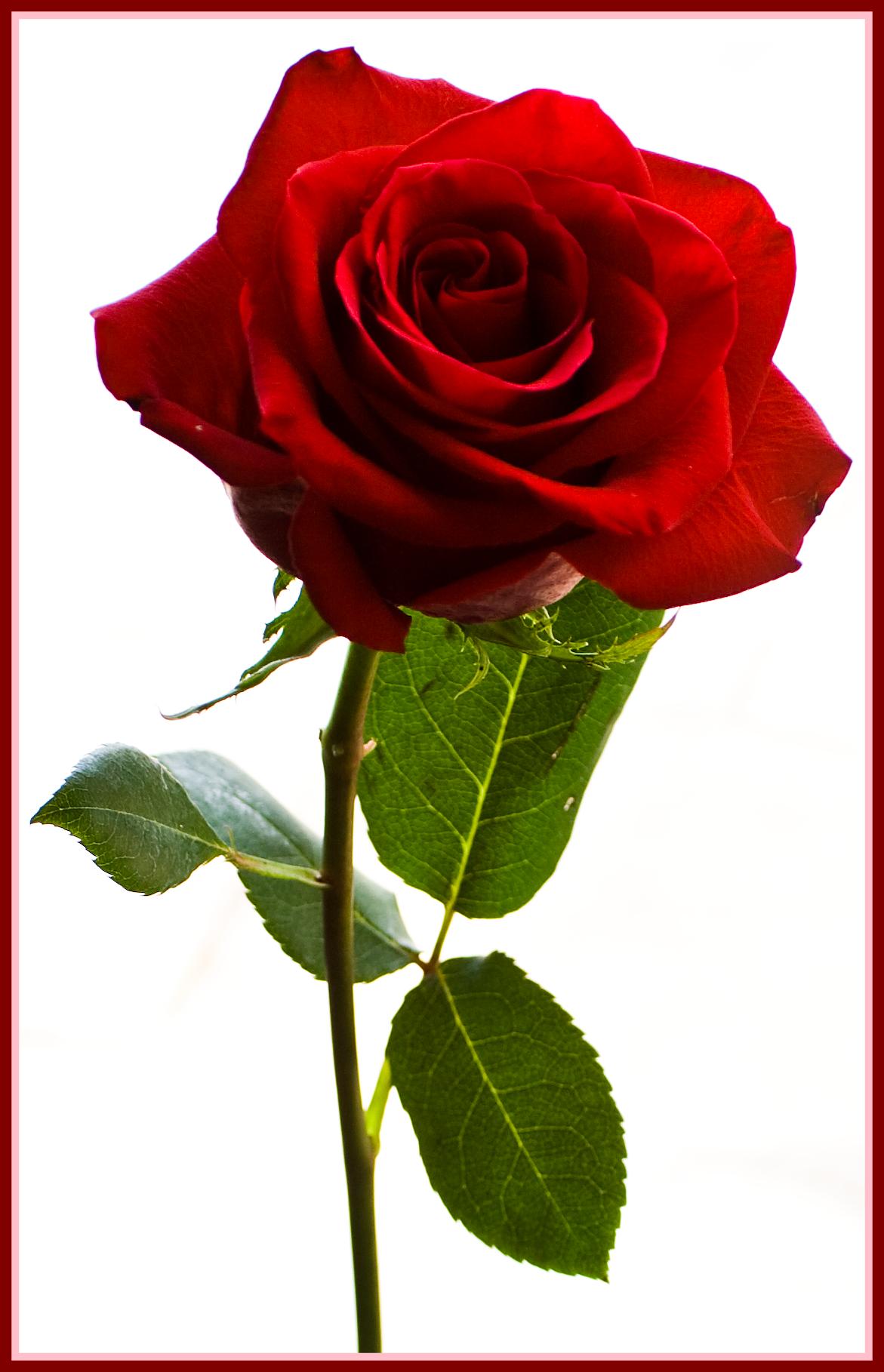 Rose Petal Clipart