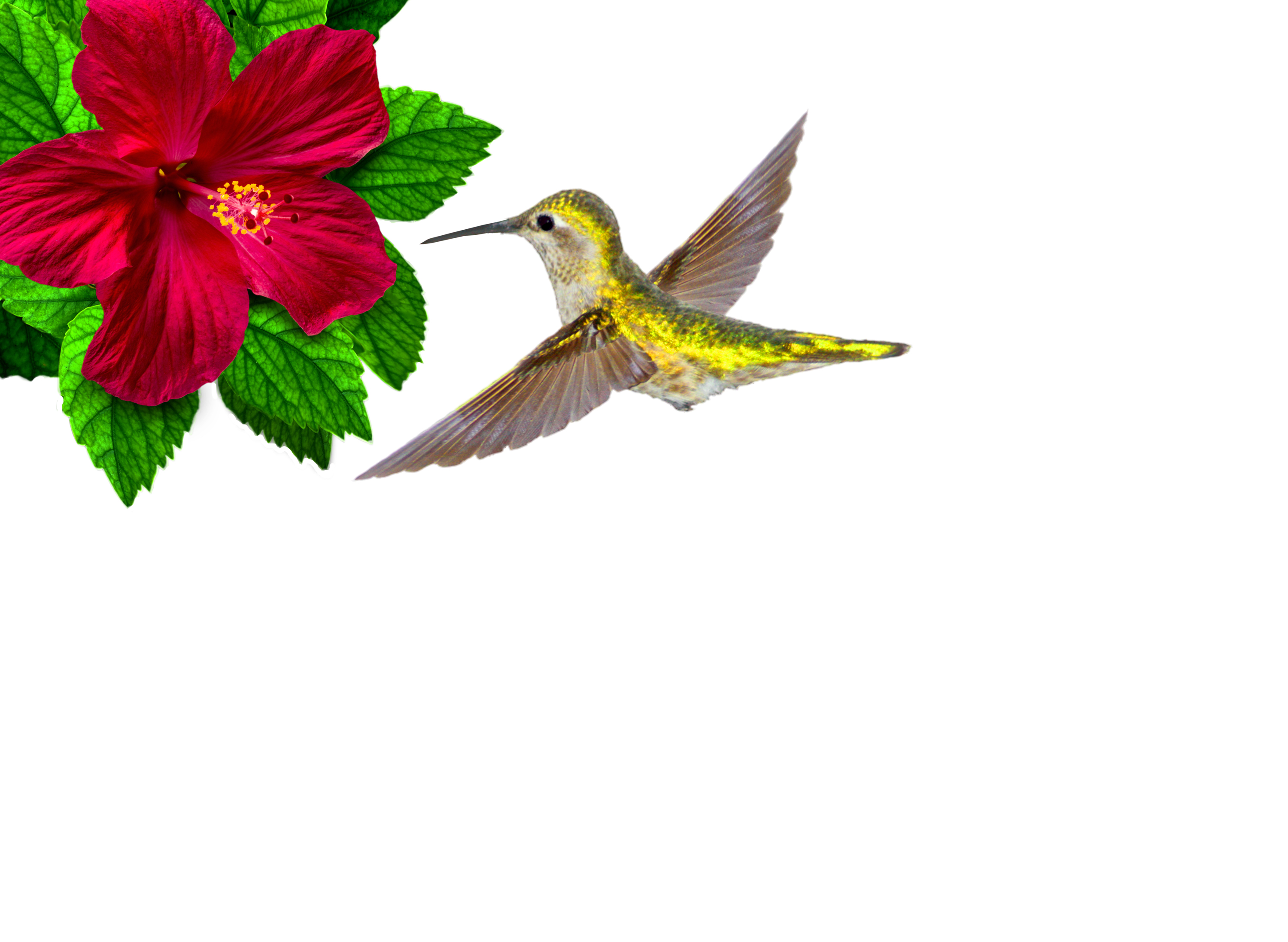 3000x2194 Free Photo Ruby Throated Hummingbird Hovering