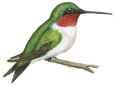 450x334 Hummingbird Illustrations Free Download Clip Art