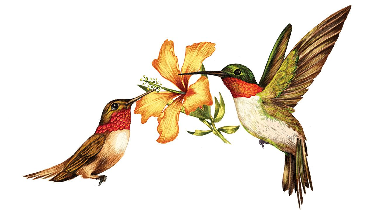1280x720 Something In The Way They Move Ruby Throated Hummingbird