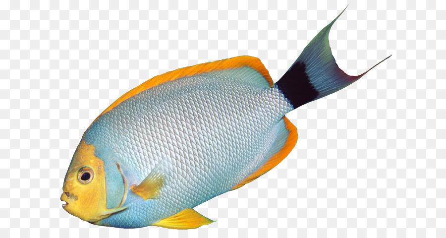 900x480 Angelfish Tropical Fish Bass Clip Art