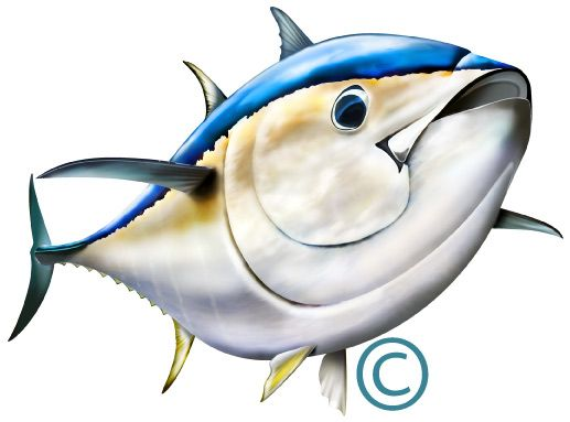 517x383 Bluefin Tuna Illustration Photoshop Clipart Httpwww