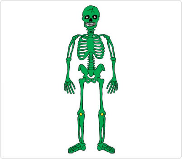600x524 Free Clipart Skeletal System Free Images