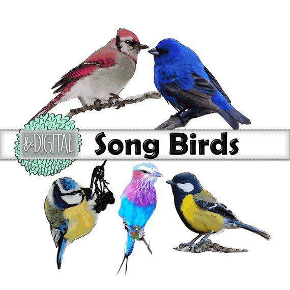 570x570 Song Bird Clipart Bird Clip Art Swallow Clip Art Sparrow