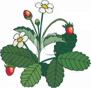 300x290 Clipart Picture A Strawberry Plant