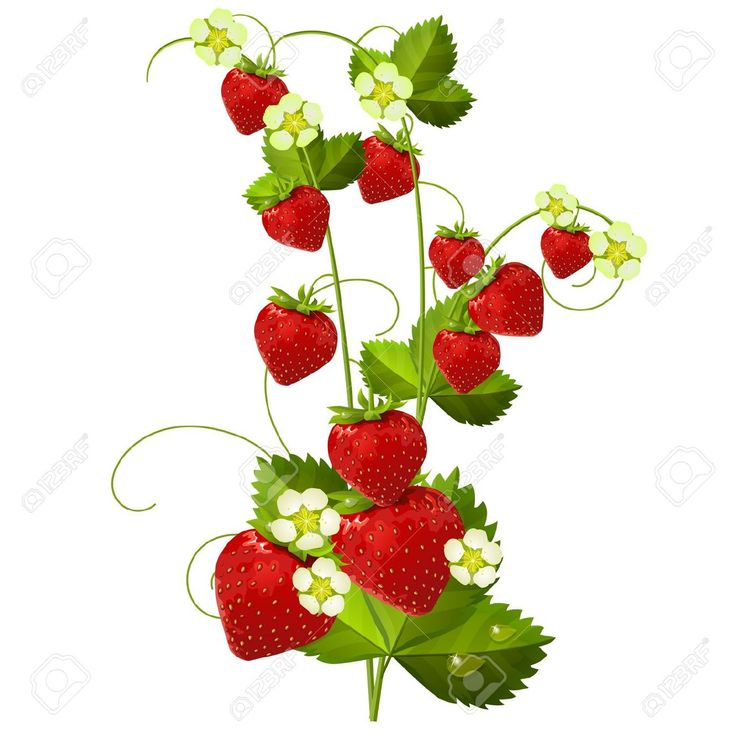 736x736 18 Best Strawberries Images On Strawberries