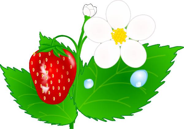 600x422 Strawberry Flower Jh Clip Art