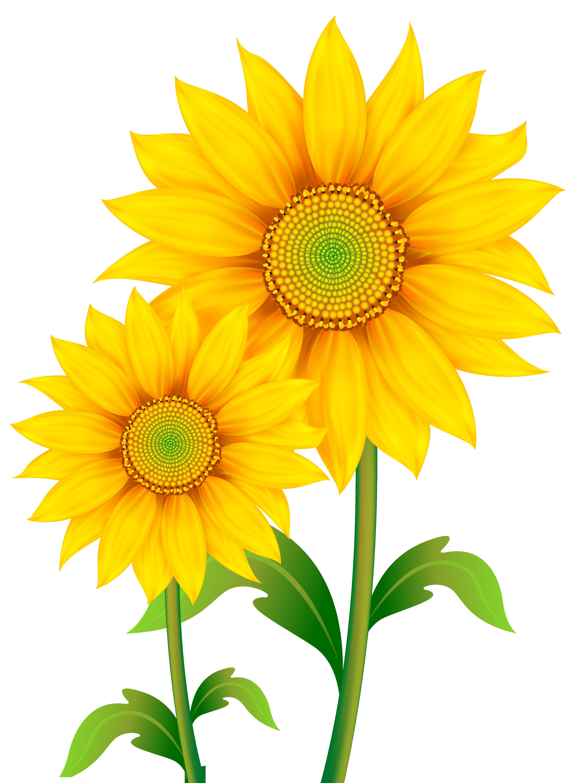 4504x6158 Transparent Sunflowers Clipart Png Imageu200b Gallery Yopriceville