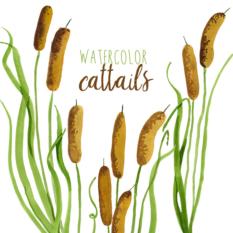 800x800 Watercolor Cattails Clipart Digital Swamp Images Southern