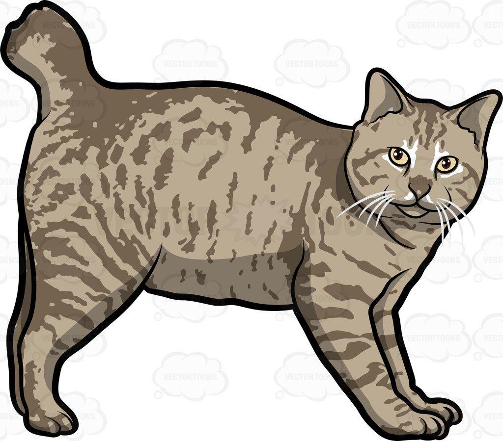 1024x899 An American Bobtail Pet Cat American Bobtail, Bobtail Cat And Cat