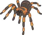 180x149 Collection Of Tarantula Spider Clipart High Quality, Free
