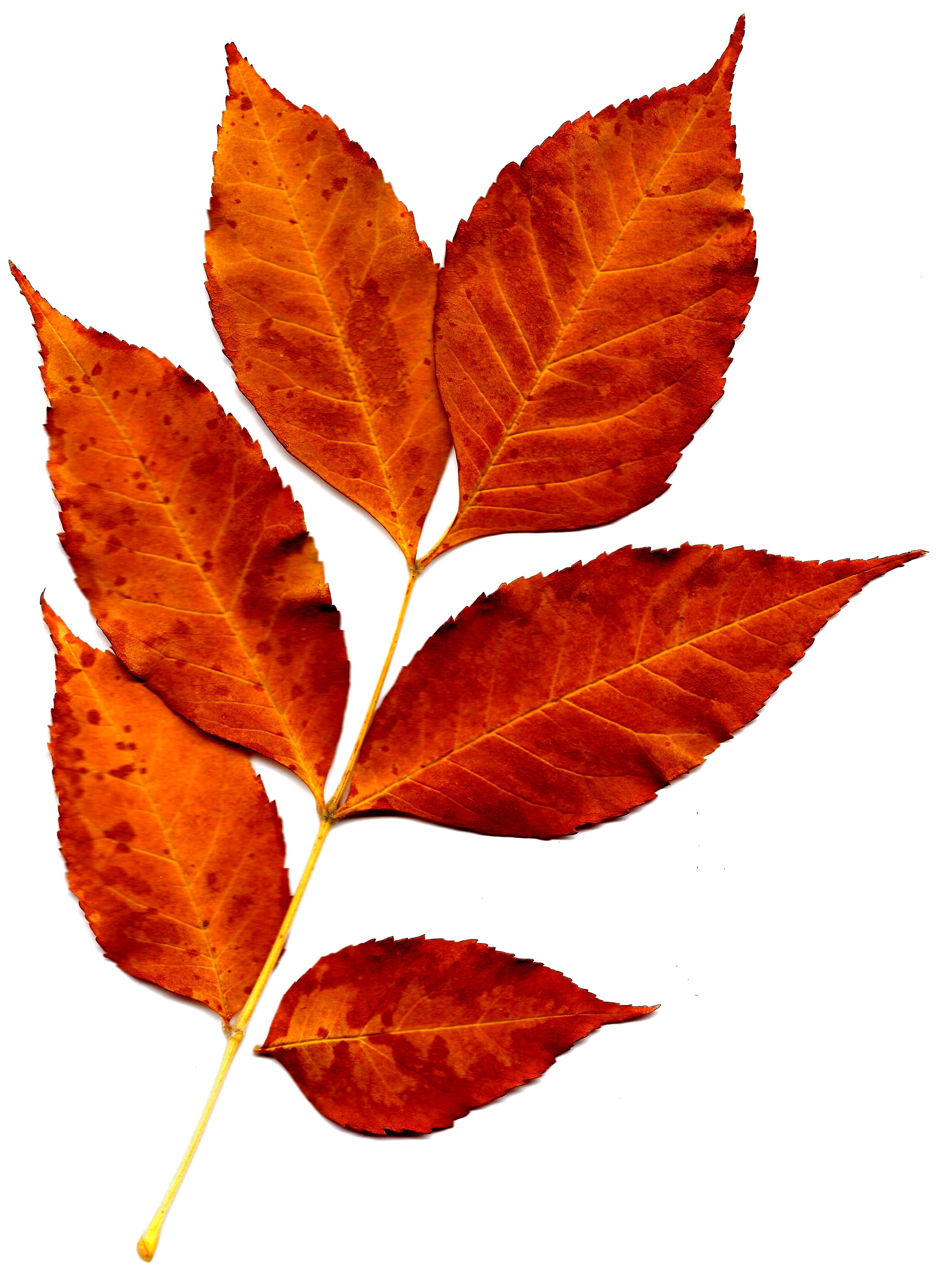 4150x5650 Purple Fall Leaves Clip Art