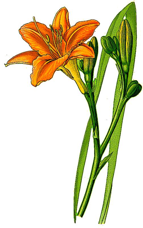 503x800 Hemerocallis Daylily Clipart