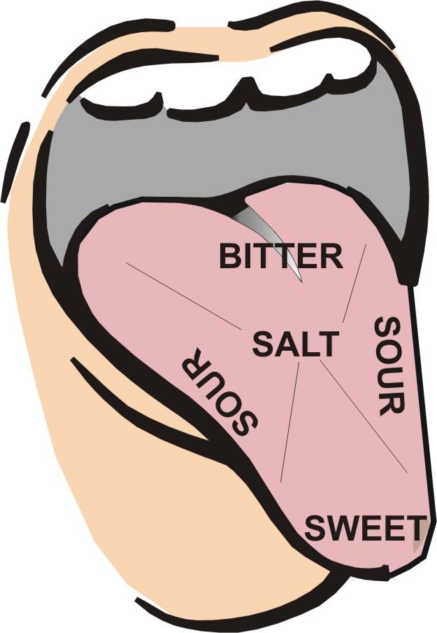 625x904 Tongue Taste Buds Clip Art Clipart