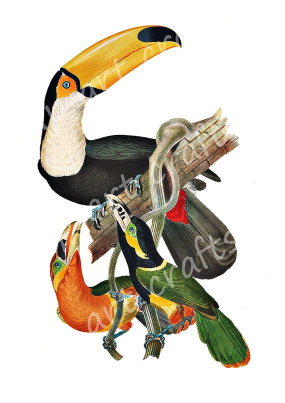 Toucan Bird Clipart