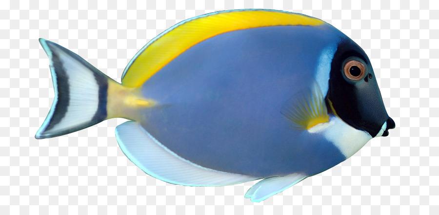 900x440 Angelfish Siamese Fighting Fish Palette Surgeonfish Acanthurus