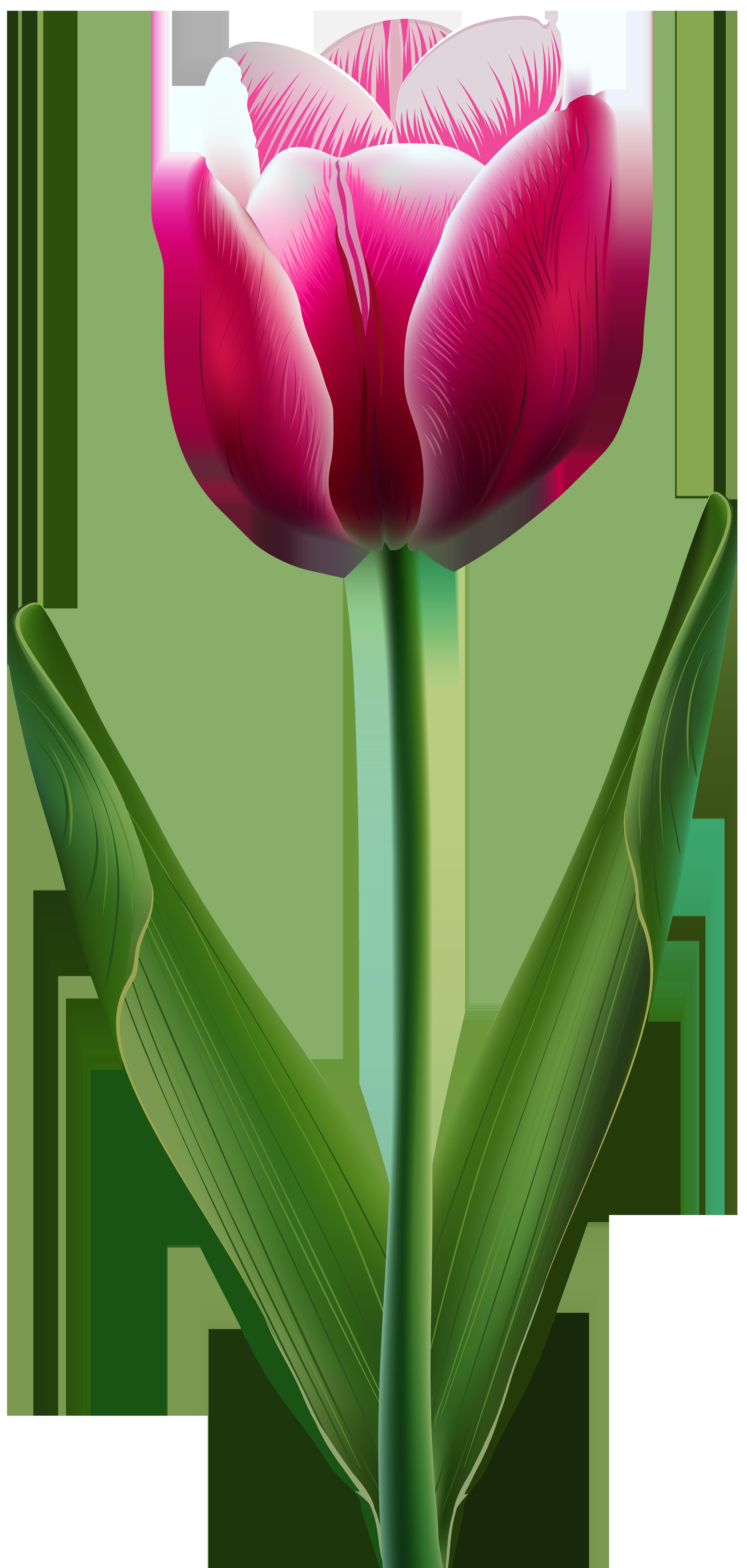 3812x8000 Beautiful Tulip Transparent Png Clip Art Imageu200b Gallery