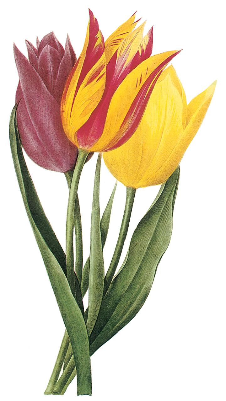 720x1278 Tulip Border Clipart