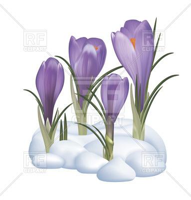 383x400 Spring Purple Crocuses Flowers On A Snow Royalty Free Vector Clip