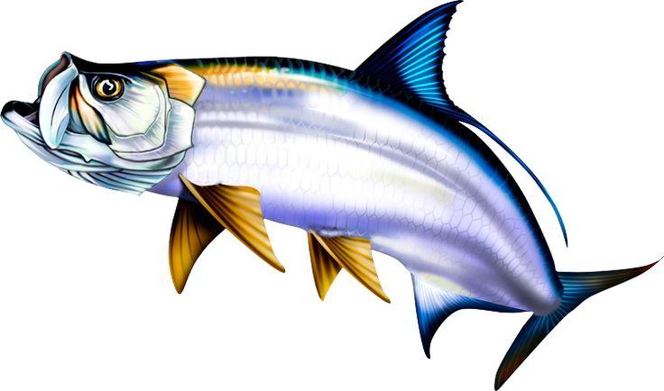 736x434 44 Best Saltwater Sport Fish Illustrations Amp Clipart Images