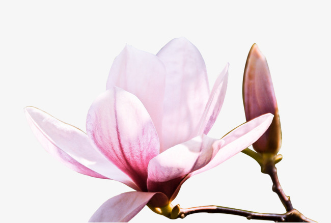 650x438 Stylish And Peaceful Magnolia Clipart Watercolor Leaves Wedding