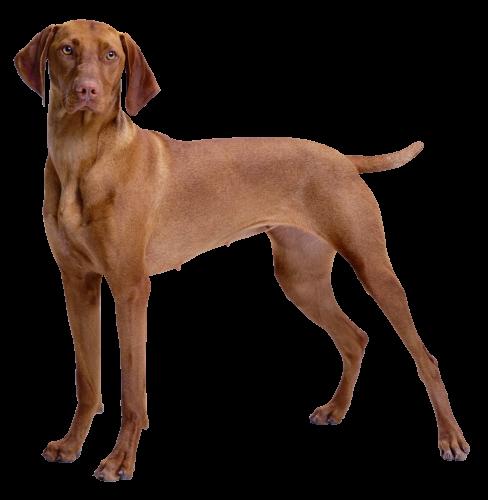488x500 Brown Dog Png Clipart Immagini Da Lavoro