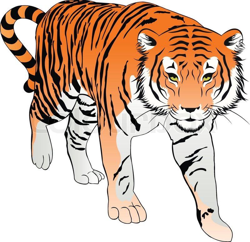 800x772 Tiger, Illustration Stock Vector Colourbox