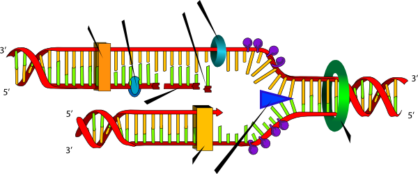 600x250 Dna Replication Clip Art Related Keywords