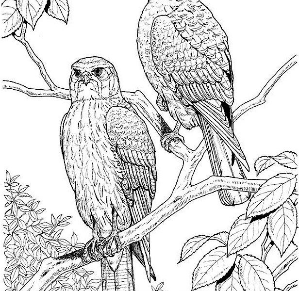 616x600 Bird Coloring Pages For Adults Free Printable Adult Coloring Pages