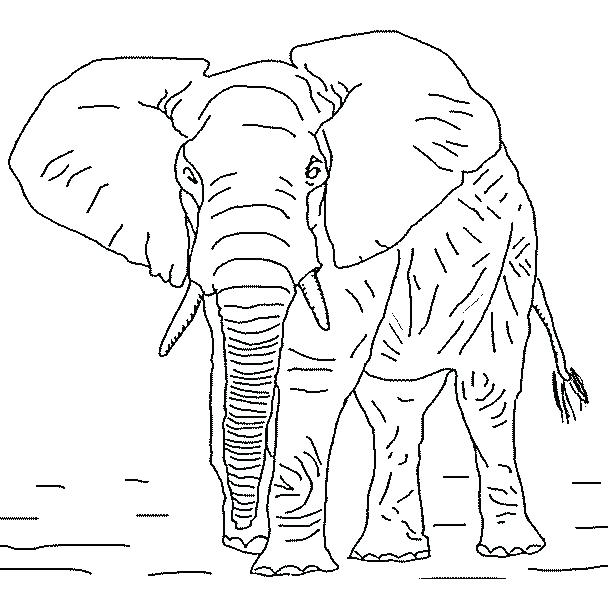 608x608 African Elephant Coloring Page Elephant Coloring Pages Elephant