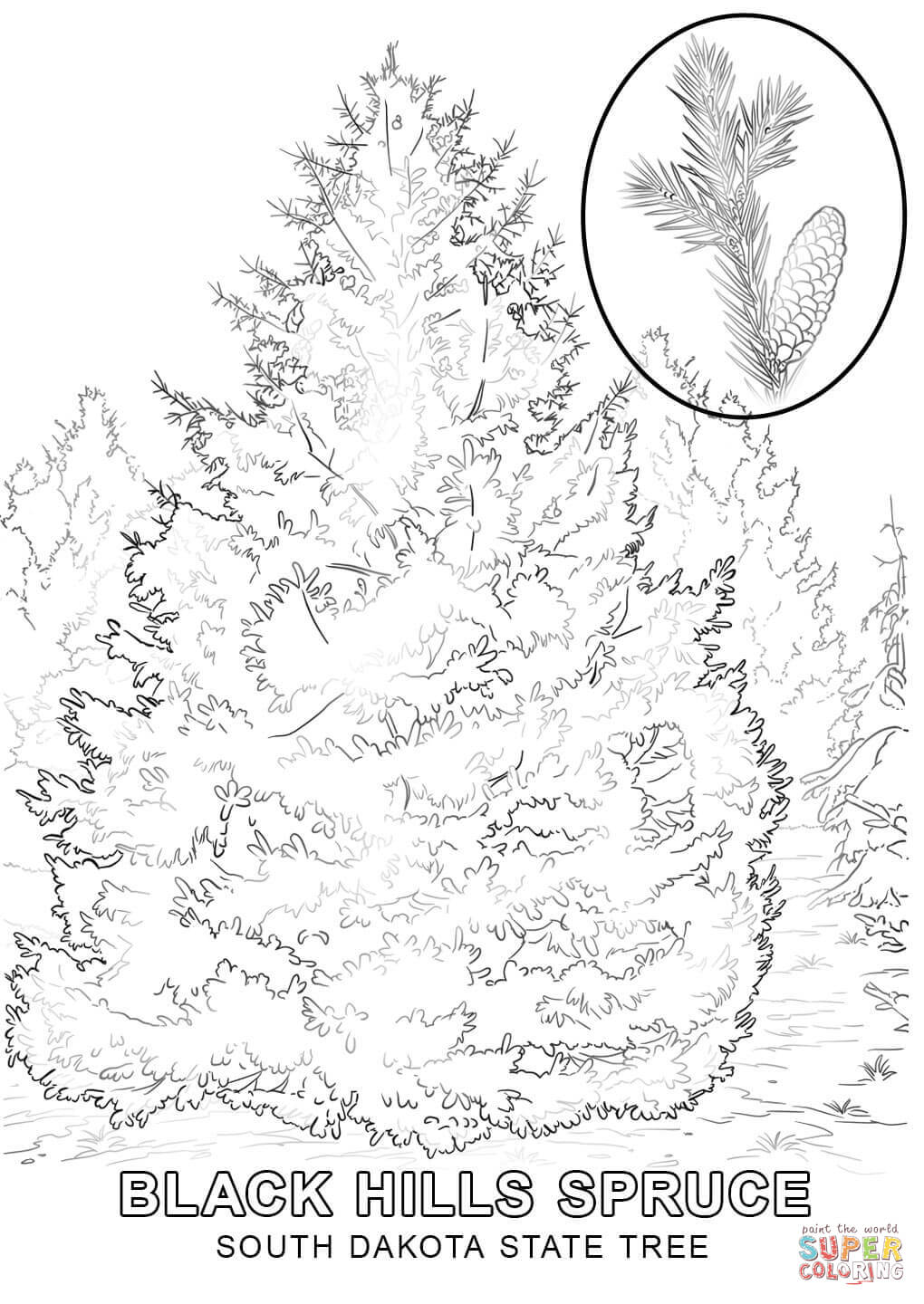 1020x1440 Easily White Pine Tree Coloring Page Longleaf Free Printable Pages