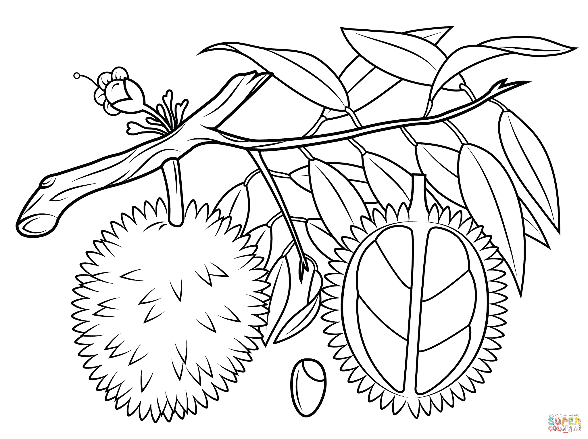 2046x1526 New Durian Branch Cross Section And Seed Coloring Page