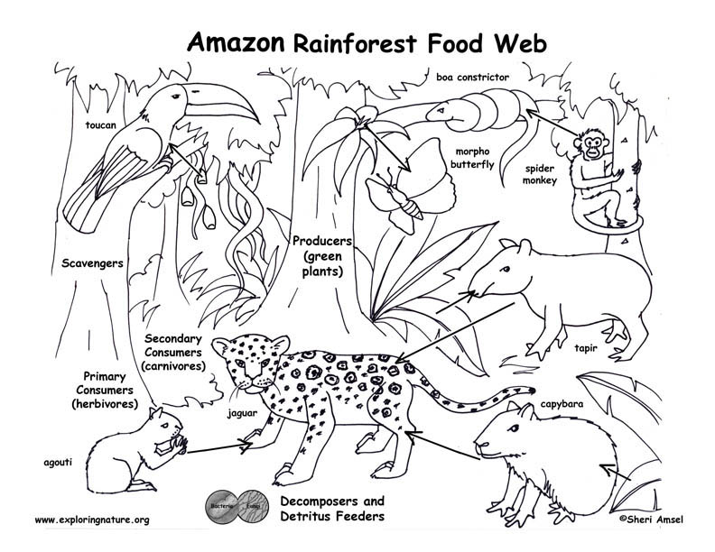 792x612 Amazon Rainforest Food Chain Coloring Page