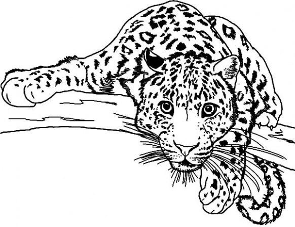 582x447 Lurker Leopard Coloring Pages Batch Coloring Leopard Coloring
