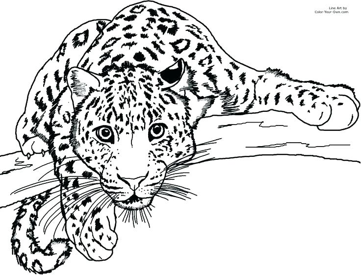 736x565 Snow Leopard Coloring Pages Printable Snow Leopard Coloring Page