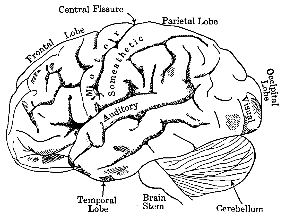 1111x854 Brain Anatomy Coloring Book New Coloring Sheets