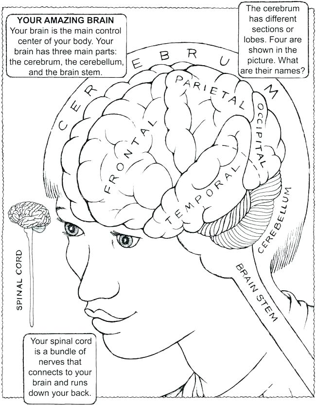 650x837 Brain Anatomy Colouring Book Diagram Coloring Pages Brain Anatomy