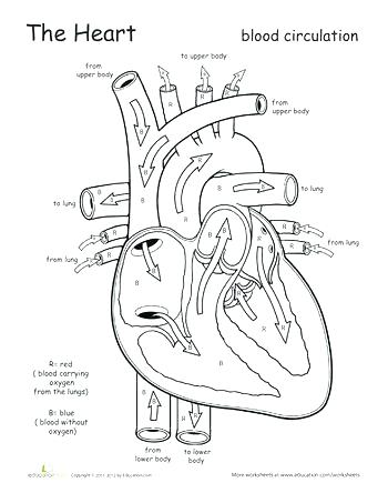 350x453 Heart Anatomy Coloring Pages