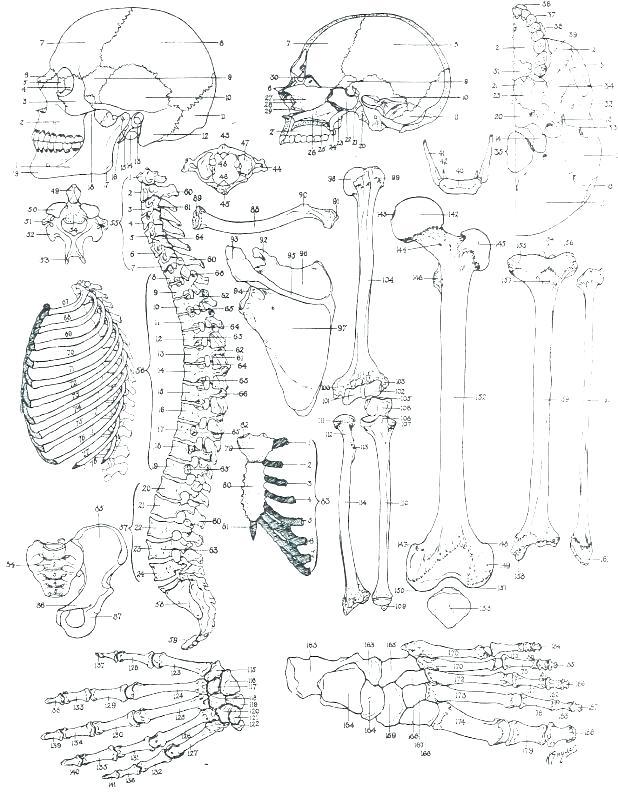 618x804 Anatomy Coloring
