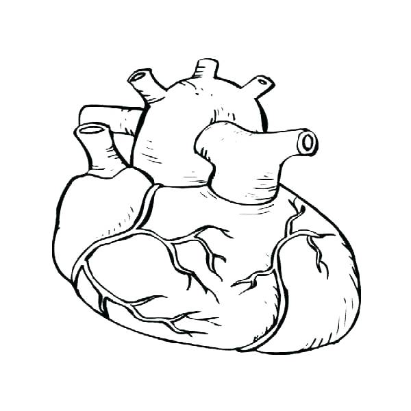 600x600 Heart Anatomy Coloring Pages Heart Anatomy Coloring Pages Heart