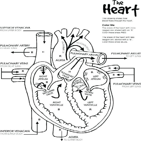 600x600 Anatomical Heart Coloring Pages Anatomy Heart Coloring Pages