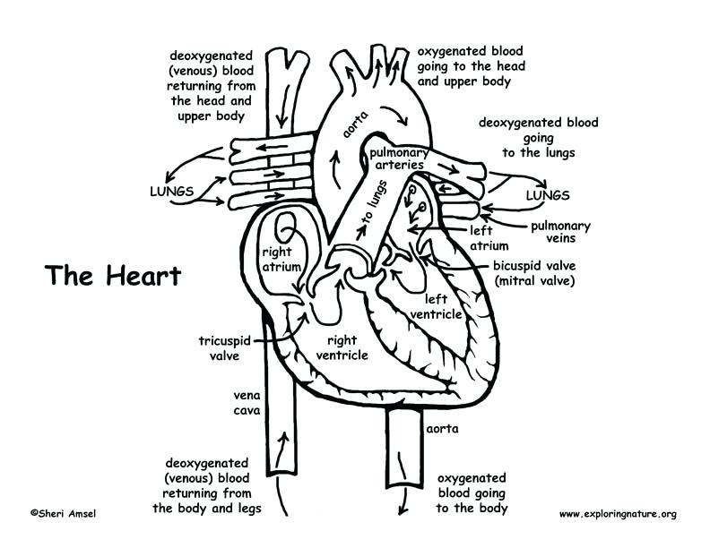 792x612 Human Heart Coloring Pages Brilliant Free Printable Human Anatomy