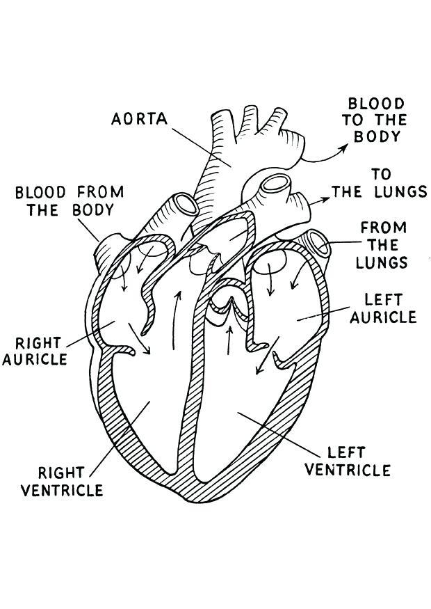 620x875 Anatomical Heart Outline Human Anatomical Heart Outline Tattoo